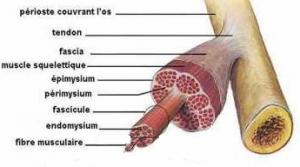Découpe d'un tendon - Labrha