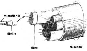 Microfibrille tendons - Labrha